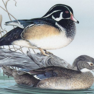 elegant-woodducks