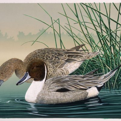 morning-light-pintails